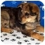 Photo 1 - Australian Cattle Dog/Shepherd (Unknown Type) Mix Puppy for adoption in Broomfield, Colorado - Lobo