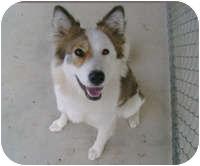 Border Collie/Husky Mix Dog for adoption in Creston, British Columbia - Harriet