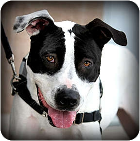 Pointer/American Pit Bull Terrier Mix Dog for adoption in Vista, California - Daisy