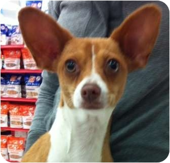 Chihuahua Mix Puppy for adoption in Studio City, California - Lola