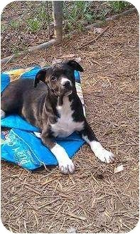 Labrador Retriever Mix Dog for adoption in Scranton, Pennsylvania - Petunia