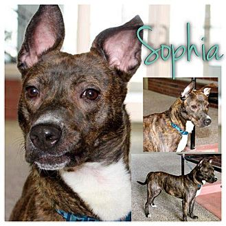 American Pit Bull Terrier Mix Dog for adoption in Garden City, Michigan - Sophia