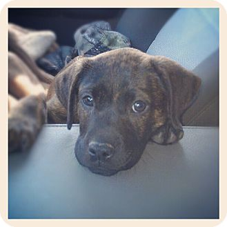 Boxer/Labrador Retriever Mix Puppy for adoption in Bedminster, New Jersey - Trooper