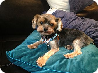 Yorkie, Yorkshire Terrier Dog for adoption in Seminole, Florida - Rena