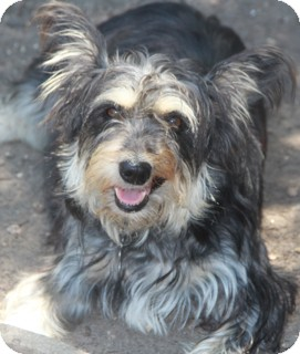 Schnauzer (Miniature)/Lhasa Apso Mix Dog for adoption in Norwalk, Connecticut - Lucy