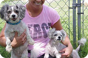Shih Tzu Mix Dog for adoption in Elyria, Ohio - Allie & Ethel