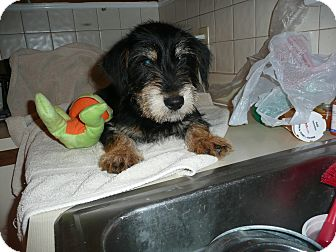 Schnauzer (Standard) Mix Puppy for adoption in Wallingford Area, Connecticut - Chaze