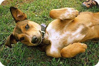 Labrador Retriever/Mountain Cur Mix Puppy for adoption in Homewood, Alabama - Jasper
