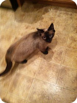 Siamese Cat for adoption in Carey, Ohio - Tinker and kittens