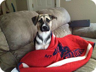 German Shepherd Dog Mix Puppy for adoption in Columbus, Ohio - Blake