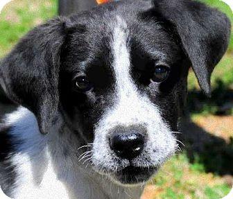 Labrador Retriever/English Pointer Mix Puppy for adoption in Wakefield, Rhode Island - DECKER(ADORABLE, HAPPY PUPPY!!
