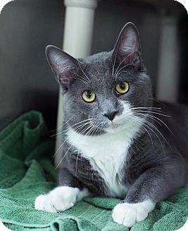 Domestic Shorthair Cat for adoption in Hillside, Illinois - Oliver