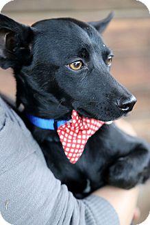 Chihuahua/Dachshund Mix Puppy for adoption in Covington, Washington - Sawyer-adopted!