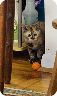 Domestic Shorthair Kitten for adoption in Marietta, Georgia - Topaz
