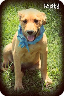 Golden Retriever/Labrador Retriever Mix Puppy for adoption in Cranford, New Jersey - Rusty