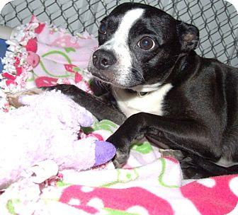Boston Terrier/Rat Terrier Mix Dog for adoption in Kalamazoo, Michigan - Elsie