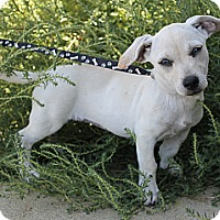 Adopt A Pet :: Willow - Fountain, CO