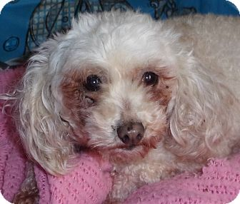 Poodle (Toy or Tea Cup) Dog for adoption in Liberty Center, Ohio - Missy