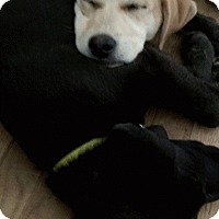Adopt A Pet :: Marley - Stamford, CT