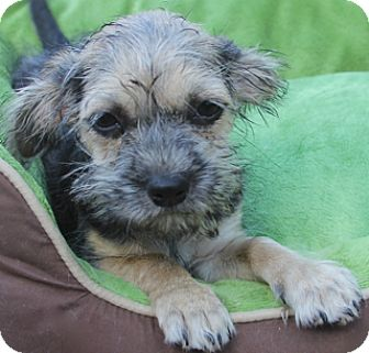 Terrier (Unknown Type, Small)/Yorkie, Yorkshire Terrier Mix Puppy for adoption in Woonsocket, Rhode Island - Cinders - Adoption pending!