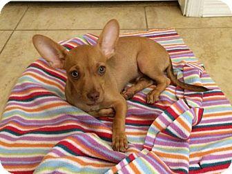 Chihuahua/Dachshund Mix Puppy for adoption in Phoenix, Arizona - Ryne