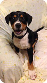 Bernese Mountain Dog/Labrador Retriever Mix Puppy for adoption in Hagerstown, Maryland - Grenada