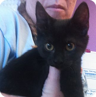 Domestic Shorthair Kitten for adoption in Kirby, Texas - Malia