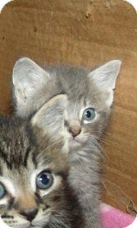 Domestic Shorthair Kitten for adoption in Greenville, Kentucky - Fender