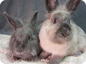 Lionhead Mix for adoption in Newport, Delaware - Brinley & Daelyn