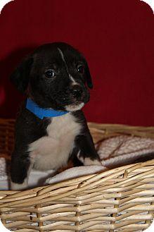 Labrador Retriever/Terrier (Unknown Type, Medium) Mix Puppy for adoption in Waldorf, Maryland - Eli