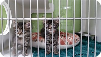 Domestic Longhair Kitten for adoption in Muskegon, Michigan - Sam I Am