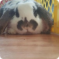 Adopt A Pet :: Sophie - Conshohocken, PA