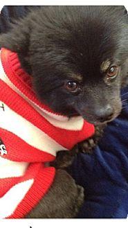 Pomeranian Dog for adoption in Van Nuys, California - LITTLE BEAR