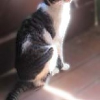 American Shorthair Cat for adoption in Clifton Forge, Virginia - Peanut