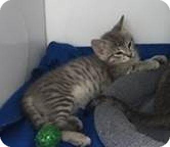 Domestic Shorthair Kitten for adoption in Fairfax, Virginia - Astrid