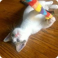 Adopt A Pet :: Dolce - Southington, CT