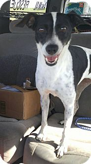 Whippet/Terrier (Unknown Type, Medium) Mix Dog for adoption in Jarrell, Texas - Daisy