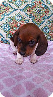 Dachshund/Beagle Mix Puppy for adoption in Florence, Kentucky - Fawn