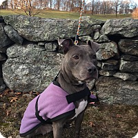 Adopt A Pet :: ZIVA - Sterling, MA