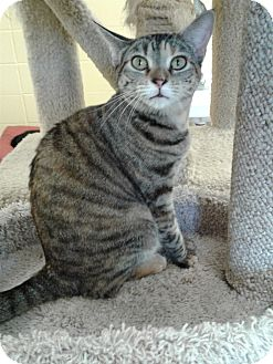 Domestic Shorthair Cat for adoption in Lake Charles, Louisiana - Coco