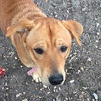 Labrador Retriever/Hound (Unknown Type) Mix Dog for adoption in Dallas, Texas - Harley