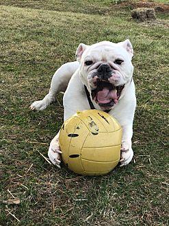 English Bulldog Dog for adoption in Decatur, Illinois - Trooper