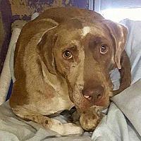 Adopt A Pet :: Briscoe - Sarasota, FL