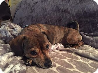 Chihuahua Mix Dog for adoption in Davenport, Iowa - Clayton