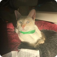 Siamese Cat for adoption in Austin, Texas - Rogo