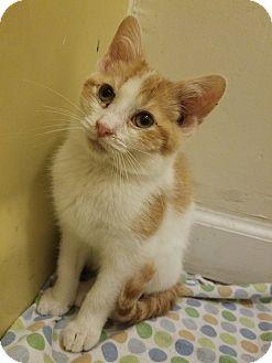 Domestic Shorthair Kitten for adoption in Braidwood, Illinois - Chip