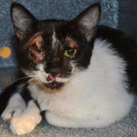 Adopt A Pet :: Ping Pong - St. Martinville, LA