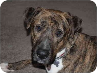 Boxer/Labrador Retriever Mix Dog for adoption in Detroit, Michigan - Valero-pending