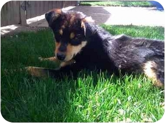 Shepherd (Unknown Type)/German Shepherd Dog Mix Puppy for adoption in Broomfield, Colorado - Shania Twain