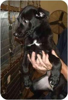 Labrador Retriever/Retriever (Unknown Type) Mix Puppy for adoption in Broomfield, Colorado - Clarabella